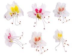 set of chestnut flowers isolated on white background