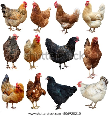 Set of chicken isolated on white. #506920210