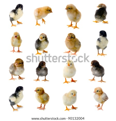 Set of chickens isolated on a white background