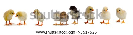 Set of chickens isolated on a white background - stock photo
