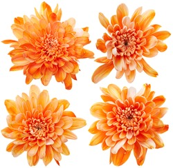 Set of chrysanthemum flowers isolated on white background