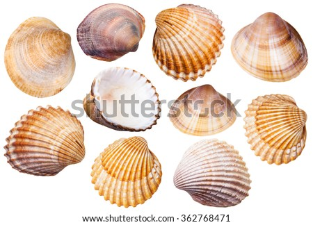 set of clam mollusc shells isolated on white background