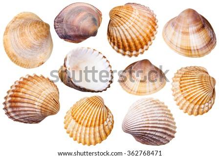 set of clam mollusc shells isolated on white background Stockfoto ©
