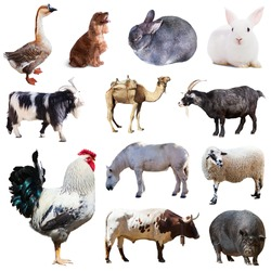 Set of cock and other farm animals. Isolated over white background