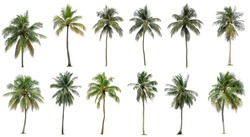 Set of coconut and palm trees isolated on white background, Suitable for use in architectural design, Decoration work, Used with natural articles both on print and website.