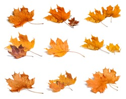 Set of colorful autumn leaves isolated on white.
