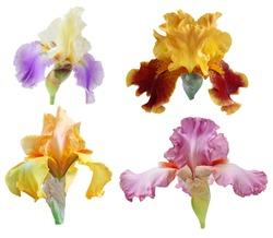 Set of colorful big iris flowers isolated on white background