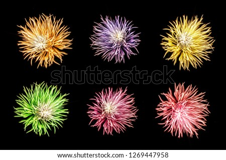 Set of colorful Chisanthemum flowers firework on dark background for artwork and photography decoration.