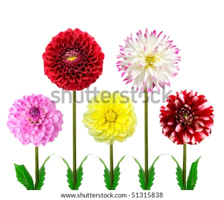 Set of colorful dahlia flowers isolated on a white background.