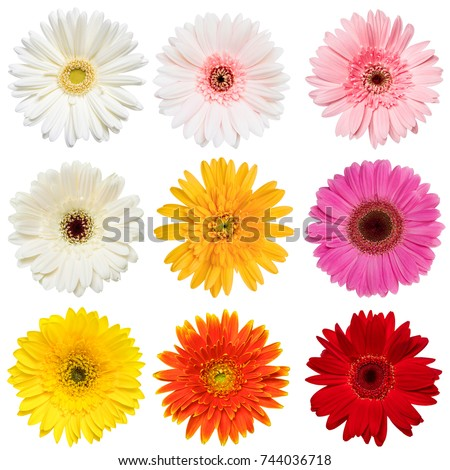 Set of  Colorful Gerbera roses Flowers collection isolated on White Background. Red, Pink, Yellow, White , Orange Colors .studio shot