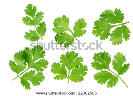 set of coriander cilantro leaves isolated on white