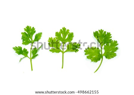 Set of coriander leaves on white background. #498662155