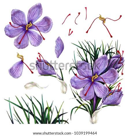 Set of Crocus flower
