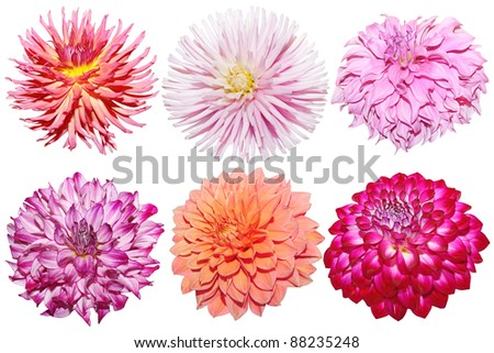 Set of Dahlia flower heads isolated on white