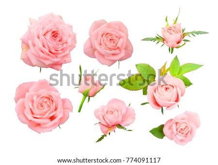 Set of delicate pink roses, bows and leaves isolated on white background. #774091117