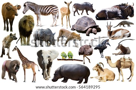 Set of different African animals isolated over white #564189295