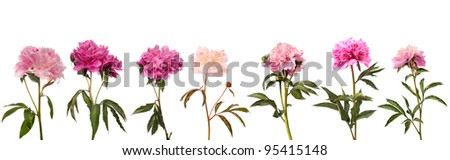 Set of different color peonies isolated on white background