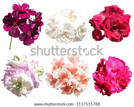 Set of different pelargonium isolated on white background  #1117515788
