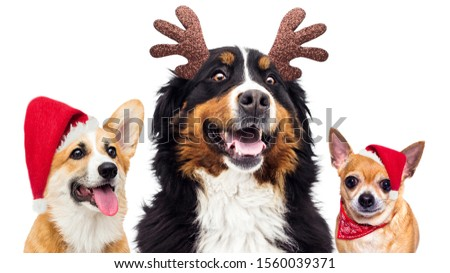 set of dog in santa christmas hat on new years eve, on a white background