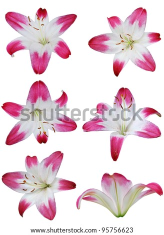 Set of Easter lily flowers
