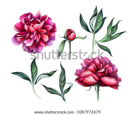 Set of elegant burgundy peonies isolated on white background. Hand drawn watercolor illustration.
