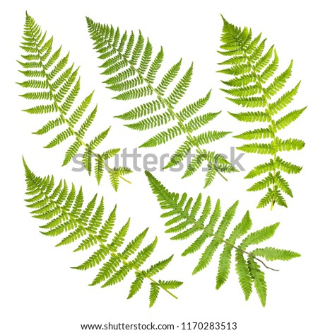 Set of fern leaves isolated on white background