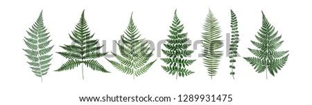 Set of fern leaves isolated on white background. Watercolor botanical illustration.