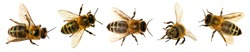 Set of five bees or honeybees in Latin Apis Mellifera, european or western honey bee isolated on the white background