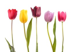 Set of five different color  tulips isolated on white background