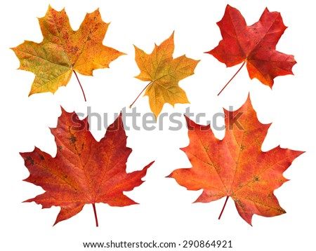 Photo of  Set of five red and yellow maple leaves isolated on white
