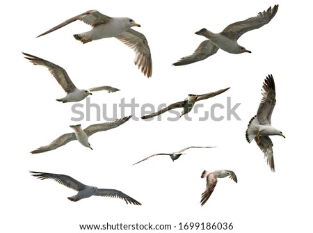 Photo of  set of flying different seagulls isolated