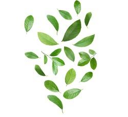 Set of flying green citrus leaves on white background