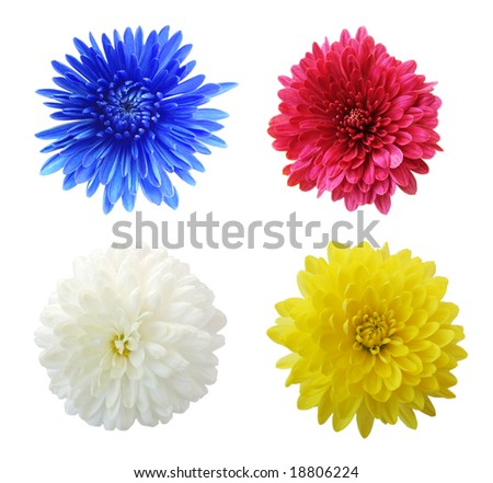Set of four aster mum flower heads, isolated on white
