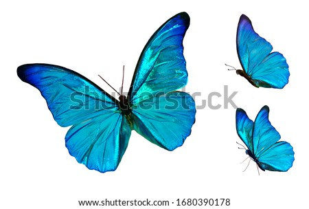Set of four beautiful blue butterflies Cymothoe excelsa isolated on white background. Butterfly Nymphalidae with spread wings and in flight. Stock photo ©