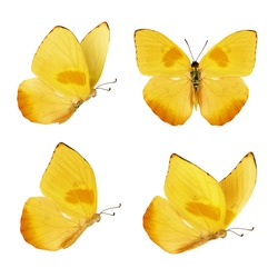 Set of four beautiful yellow butterflies. Phoebis philea butterfly isolated on white background. Butterfly with spread wings and in flight.
