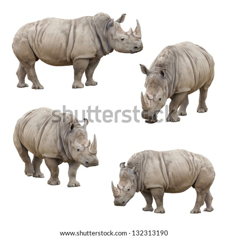 Set of Four Rhinoceros Isolated on a White Background