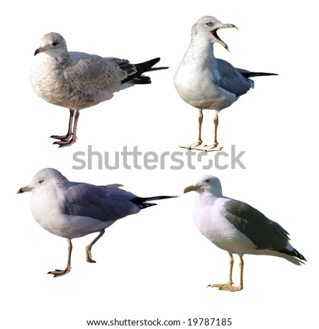 Set of four seagulls isolated on white background