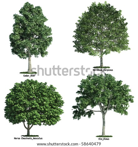 set of four trees isolated against pure white, maple, horse chestnuts, hornbeam, elm