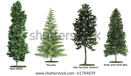 set of four trees isolated against pure white, Poplar, Scots Pine, Pine, Morway Spruce