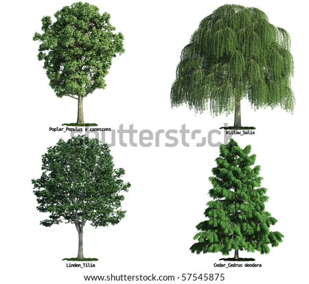 set of four trees isolated against pure white Poplar, Willow, Linden, Cedar