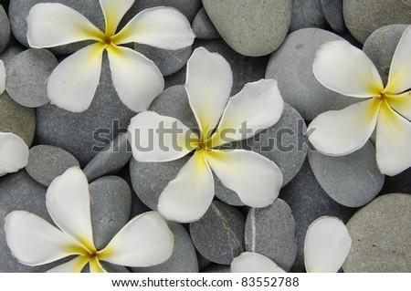 Set of frangipani flowers on gray pebbles texture
