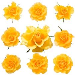 Set of fresh yellow roses isolated on white