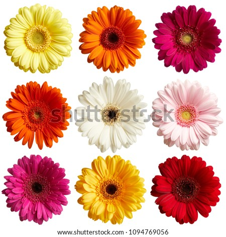 Set of gerbera daisy flowers isolated on white background