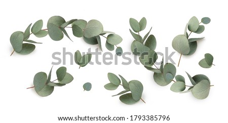 Set of green eucalyptus leaves  isolated on white background. Сток-фото ©