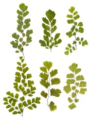 Set of green fern leaves pressed, isolated