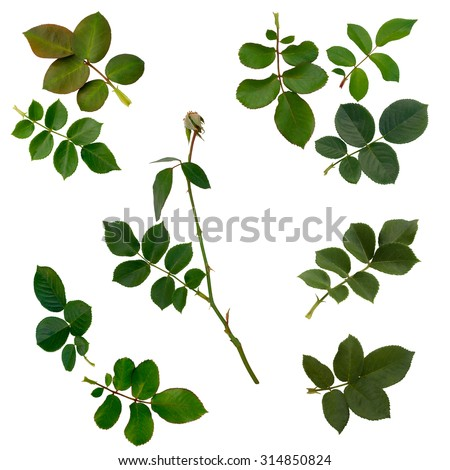 Set of Green rose leaves isolated on white background #314850824