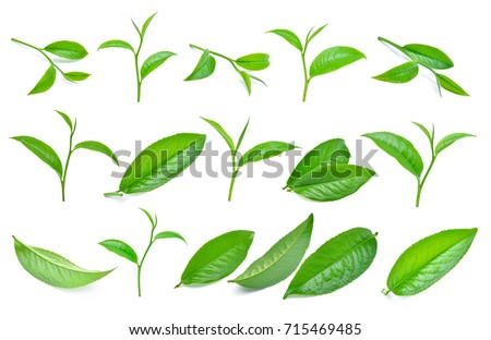 set of green tea leaf isolated on white background #715469485