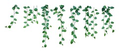 Set of hanging vine plant with heart-shaped variegated leaves of devil's ivy or golden pothos (Epipremnum aureum) the popular tropic houseplant for being indoor nature's air purifier isolated on white