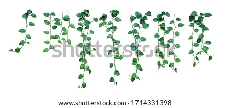 Set of hanging vine plant with heart-shaped variegated leaves of devil's ivy or golden pothos (Epipremnum aureum) the popular tropic houseplant for being indoor nature's air purifier isolated on white Stockfoto ©
