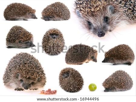 set of hedgehogs